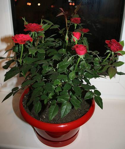Роза цветок комнатная уход